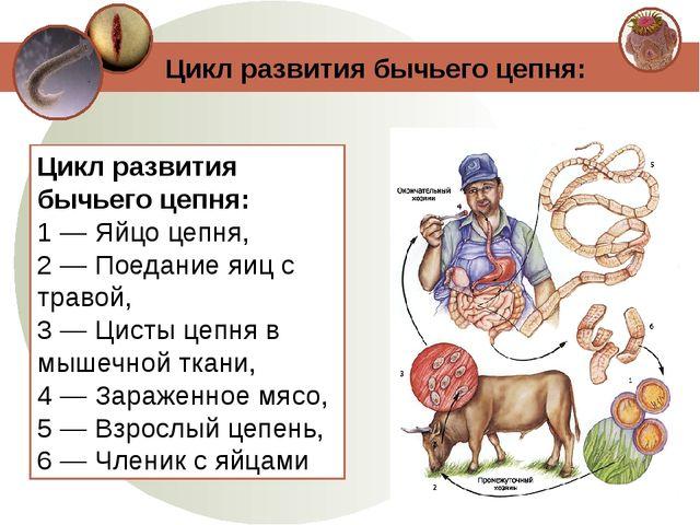 Цикл развития бычьего цепня: 1 — Яйцо цепня, 2 — Поедание яиц с травой, 3 — Ц...