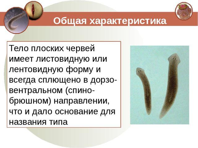 Тело плоских червей имеет листовидную или лентовидную форму и всегда сплющено...