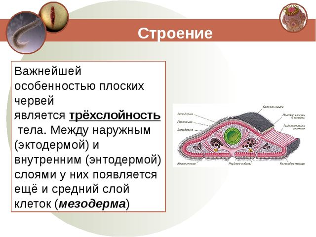 Строение Важнейшей особенностью плоских червей являетсятрёхслойностьтела. М...