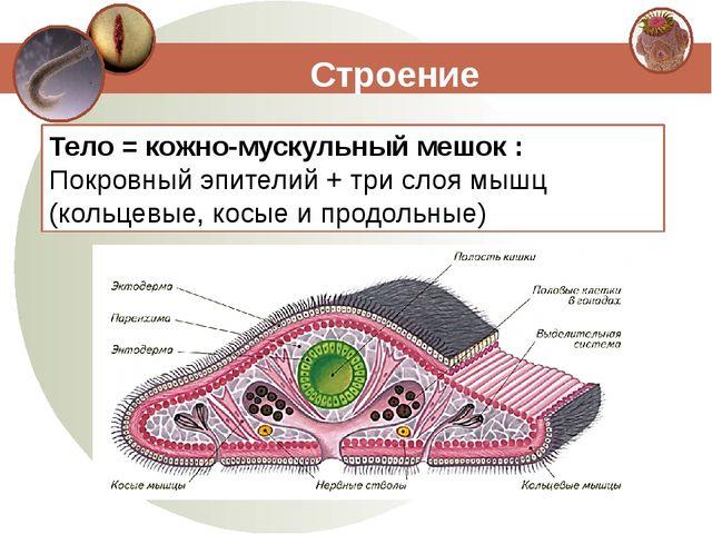 Строение Тело = кожно-мускульный мешок : Покровный эпителий + три слоя мышц (...
