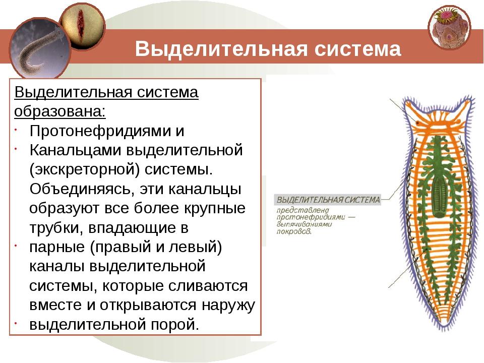 Выделительная система Выделительная система образована: Протонефридиями и Кан...