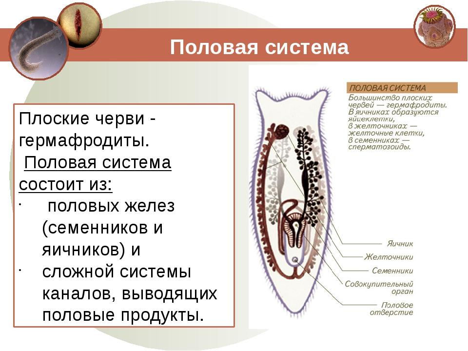 Половая система Плоские черви - гермафродиты. Половая система состоит из: пол...