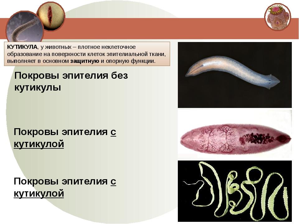 Покровы эпителия без кутикулы Покровы эпителия с кутикулой Покровы эпителия с...