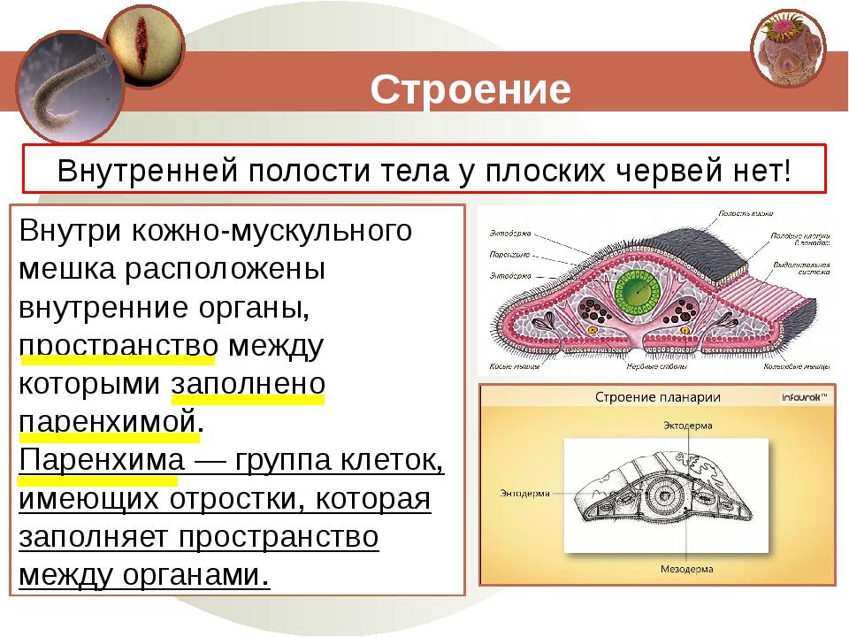 Строение Внутренней полости тела у плоских червей нет! Внутри кожно-мускульно...