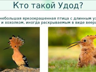 Кто такой Удод? Удод — небольшая яркоокрашенная птица с длинным узким клювом