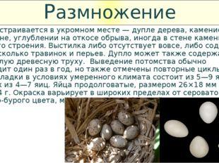 Размножение Гнездо устраивается в укромном месте — дупле дерева, каменистой р