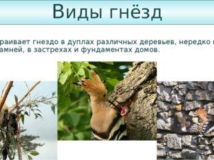 Виды гнёзд Удод устраивает гнездо в дуплах различных деревьев, нередко в пнях