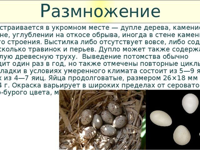 Размножение Гнездо устраивается в укромном месте — дупле дерева, каменистой р...