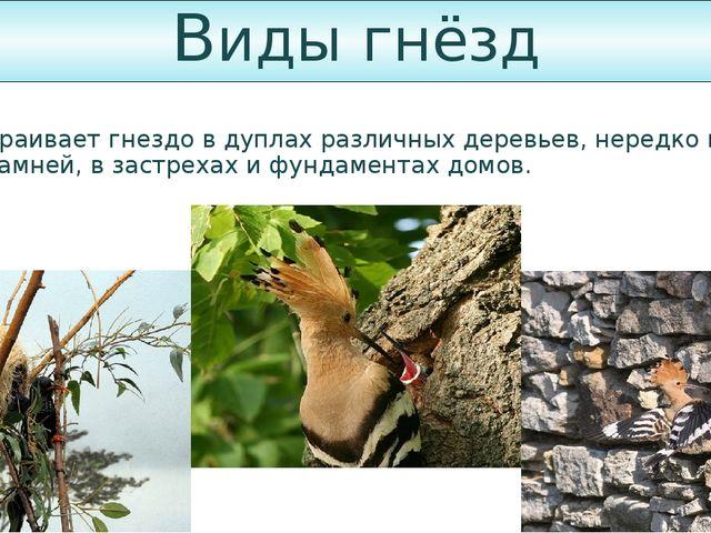 Виды гнёзд Удод устраивает гнездо в дуплах различных деревьев, нередко в пнях...