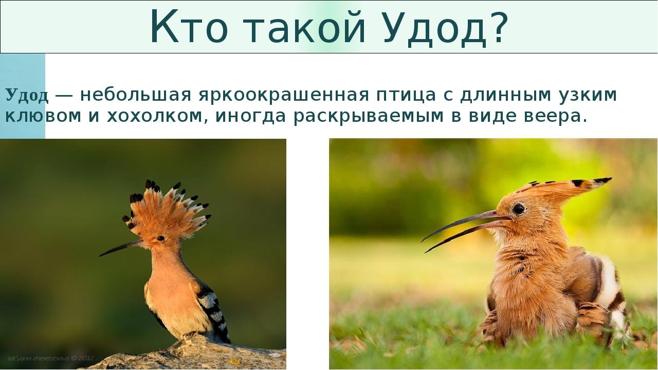 Кто такой Удод? Удод — небольшая яркоокрашенная птица с длинным узким клювом...