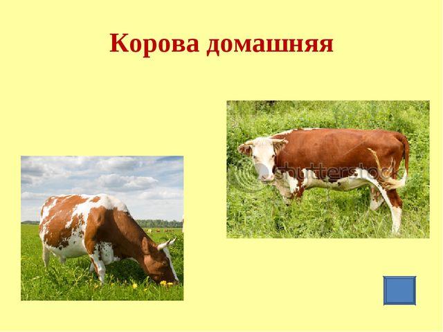 Корова домашняя