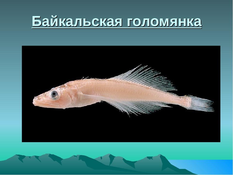 Байкальская голомянка