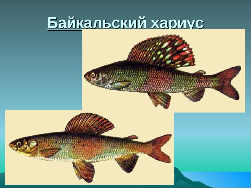 Байкальский хариус
