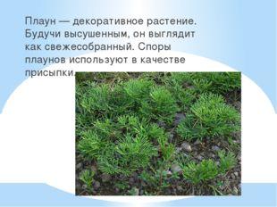 Плаун — декоративное растение. Будучи высушенным, он выглядит как свежесобра