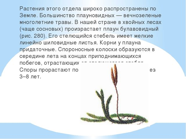 Растения этого отдела широко распространены по Земле. Большинство плауновидн...