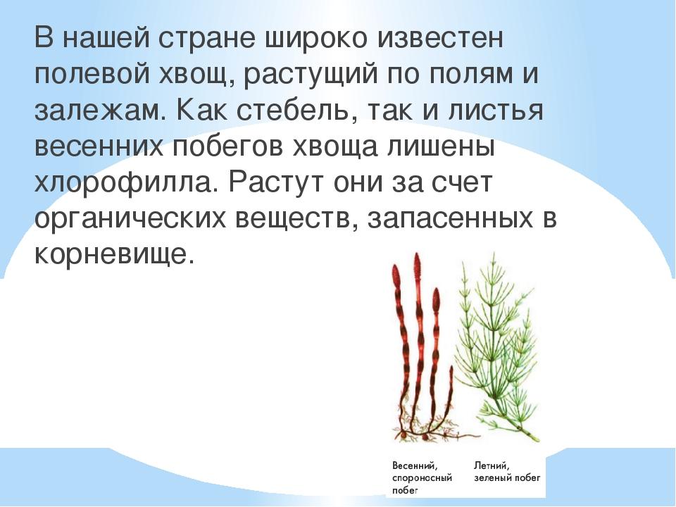 В нашей стране широко известен полевой хвощ, растущий по полям и залежам. Ка...