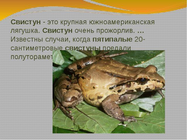 Свистун - это крупная южноамериканская лягушка. Свистун очень прожорлив. …Изв...