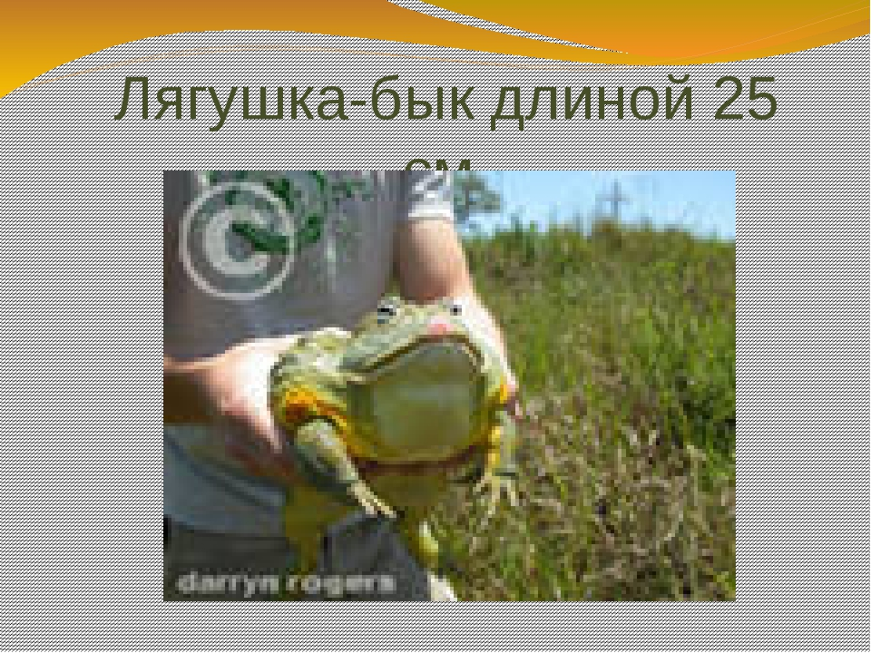Лягушка-бык длиной 25 см.