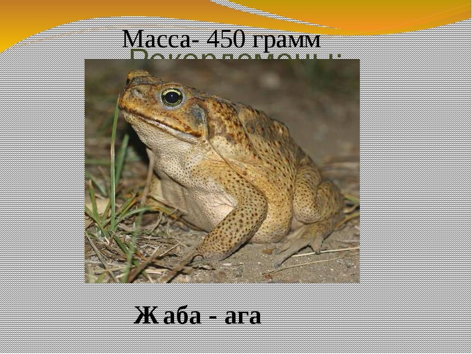 Рекордсмены: Жаба - ага Масса- 450 грамм