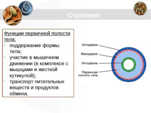 Строение Функции первичной полости тела: поддержание формы тела; участие в мы