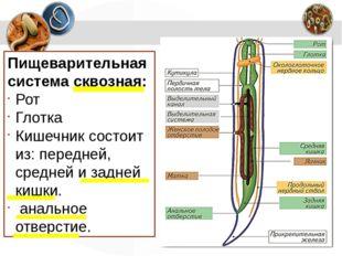 Пищеварительная система сквозная: Рот Глотка Кишечник состоит из:передней, с