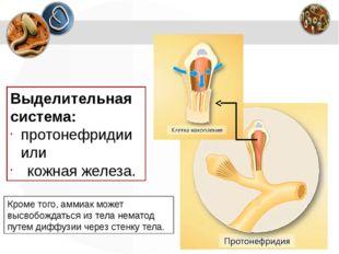 Выделительная система: протонефридии или кожная железа. Кроме того, аммиак мо