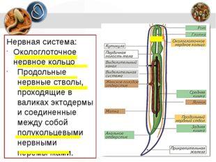 Нервная система: Окологлоточное нервное кольцо Продольные нервные стволы, про