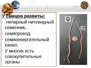 Размножение и развитие У самцов развиты: непарный нитевидный семенник, семяп