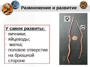 У самок развиты: яичники; яйцеводы; матка; половое отверстие на брюшной сторо