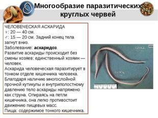 Многообразие паразитических круглых червей ЧЕЛОВЕЧЕСКАЯ АСКАРИДА ♀: 20 — 40 с