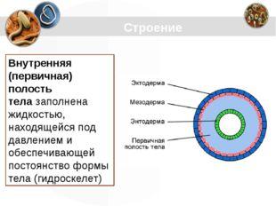 Строение Внутренняя (первичная) полость телазаполнена жидкостью, находящейся