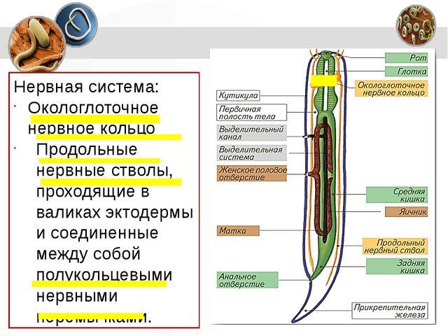 Нервная система: Окологлоточное нервное кольцо Продольные нервные стволы, про...