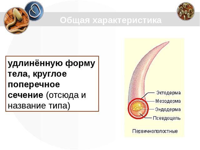 удлинённую форму тела, круглое поперечное сечение(отсюда и название типа) Об...