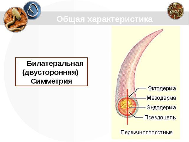Общая характеристика Билатеральная (двусторонняя) Симметрия