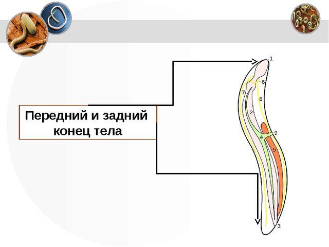Передний и задний конец тела