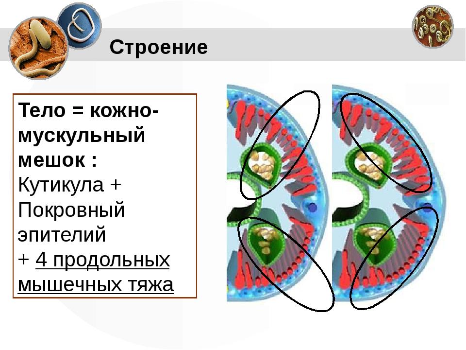 Строение Тело = кожно-мускульный мешок : Кутикула + Покровный эпителий + 4 пр...