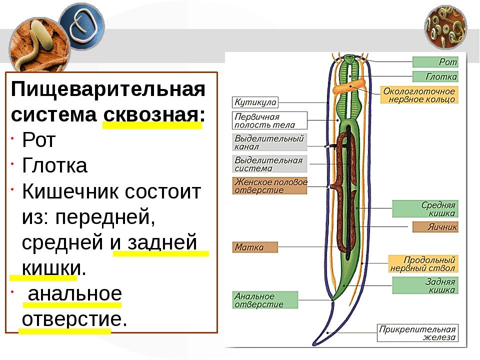 Пищеварительная система сквозная: Рот Глотка Кишечник состоит из:передней, с...