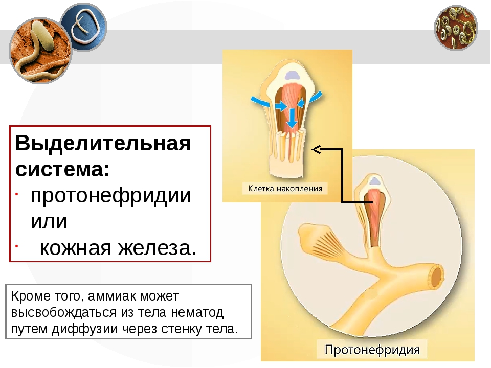 Выделительная система: протонефридии или кожная железа. Кроме того, аммиак мо...