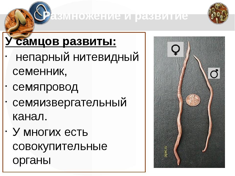 Размножение и развитие У самцов развиты: непарный нитевидный семенник, семяп...