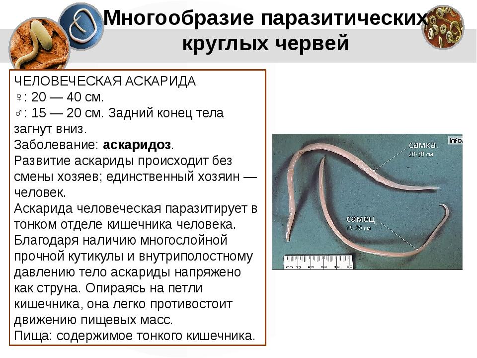 Многообразие паразитических круглых червей ЧЕЛОВЕЧЕСКАЯ АСКАРИДА ♀: 20 — 40 с...