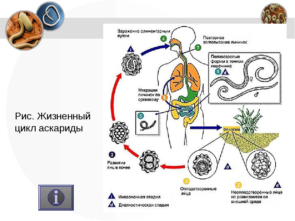 Рис. Жизненный цикл аскариды