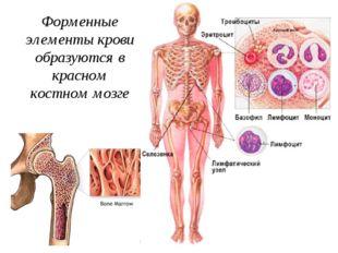 Форменные элементы крови образуются в красном костном мозге