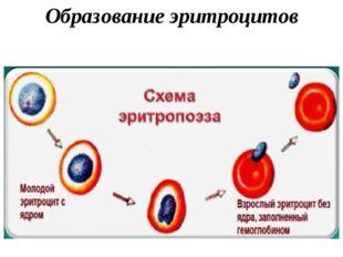 Образование эритроцитов