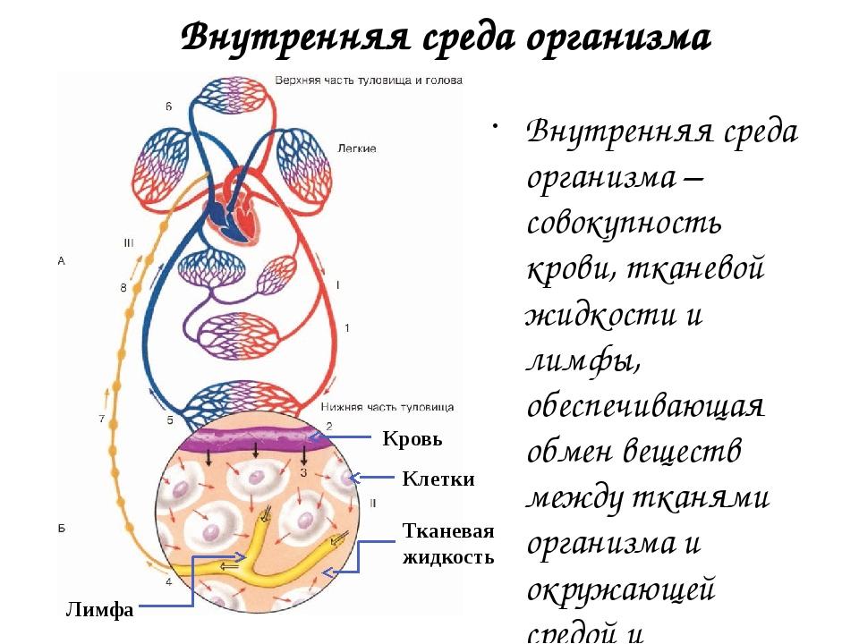 Внутренняя среда организма Внутренняя среда организма – совокупность крови, т...