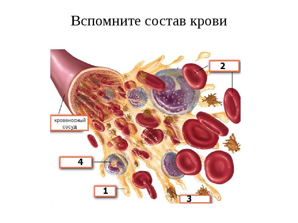 Вспомните состав крови