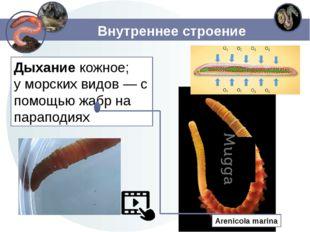 Внутреннее строение Дыхание кожное; у морских видов — с помощью жабр на парап