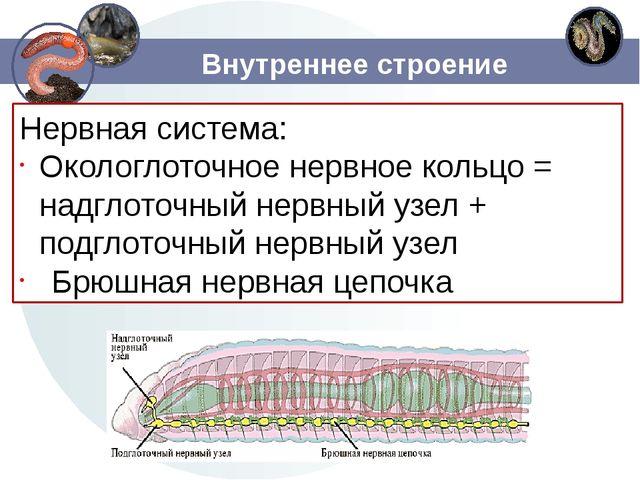 Внутреннее строение Нервная система: Окологлоточное нервное кольцо = надглото...