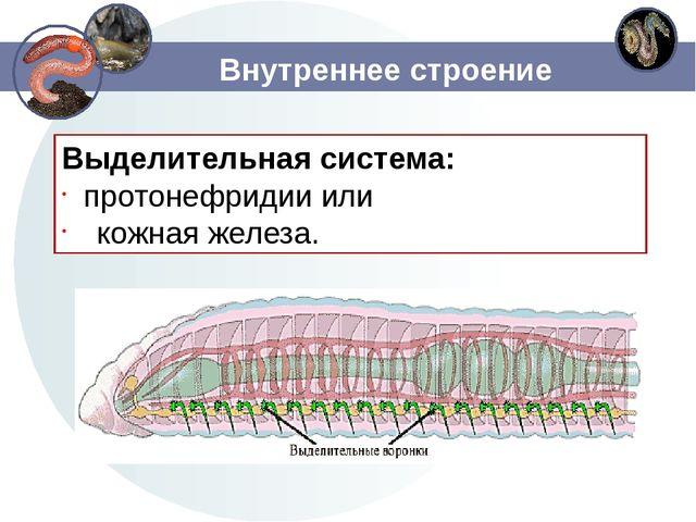 Внутреннее строение Выделительная система: протонефридии или кожная железа.