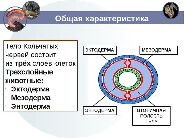 Общая характеристика Тело Кольчатых червей состоит изтрёхслоев клеток Трехс...