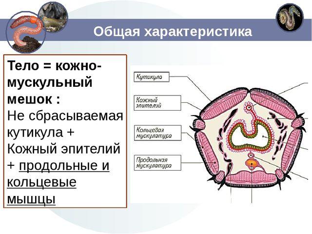 Общая характеристика Тело = кожно-мускульный мешок : Не сбрасываемая кутикула...